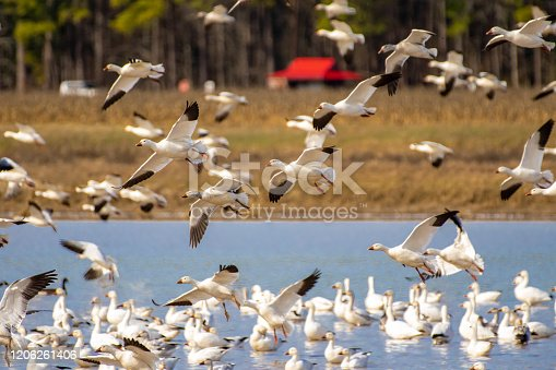 Flock of snow geese on pond