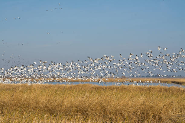 flock of snow geese flock of snow geese snow goose stock pictures, royalty-free photos & images