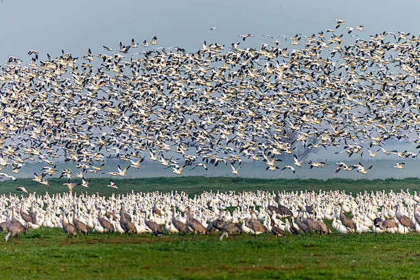 Flock of Snow Goose and low fog, California, USA Flock of snow goose flying in winter time. Low fog on the background. 600mm lens. Canon 1Dx. snow goose stock pictures, royalty-free photos & images