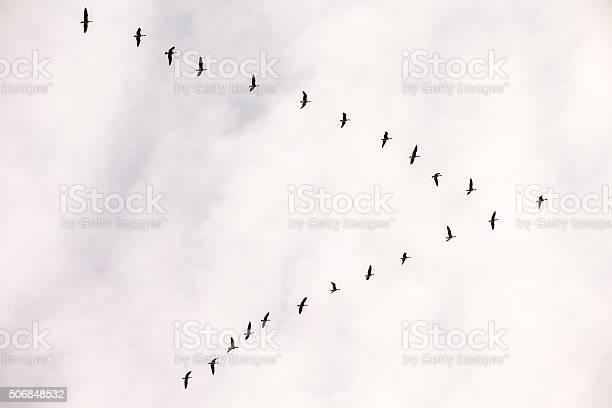 Flock of snow goose california usa picture id506848532?b=1&k=6&m=506848532&s=612x612&h=nqk wjgxieo  s1f7sbwjaffzrmv0 quuzpm54mcjvc=