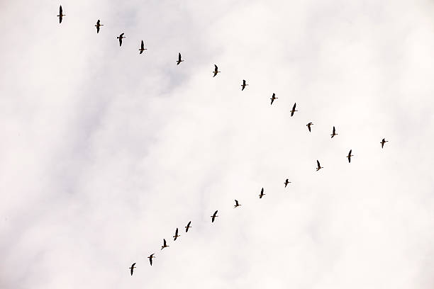 Flock of Snow Goose, California, USA Flock of Sandhill Cranes flying in winter time. 600mm lens. Canon 1Dx. flock of birds stock pictures, royalty-free photos & images