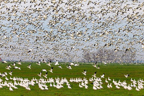 Flock of Snow Goose, California, USA Flock of snow goose flying. 600mm lens. Canon 1Dx. snow goose stock pictures, royalty-free photos & images