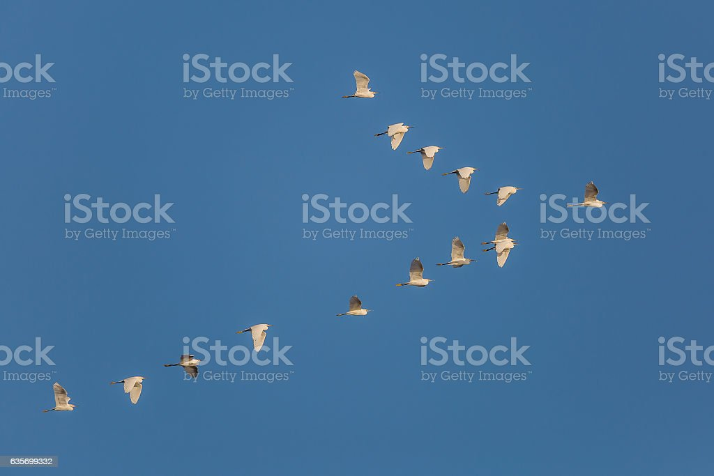 Flock of Snowy Egrets in flight - Cedar Key, Florida royalty-free stock photo