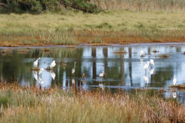 sürü karlı sorguçlar, louisiana heron ve beyaz ibis küçük gölet üzerinde yiyecek arama - balıkçıl stok fotoğraflar ve resimler