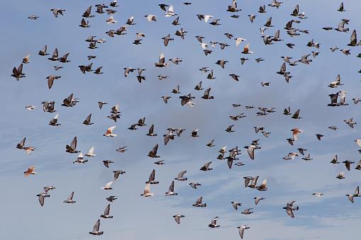 flock of speed racing pigeon flying against blue sky
