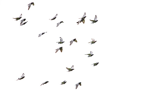 flock of speed racing pigeon flying isolated white background
