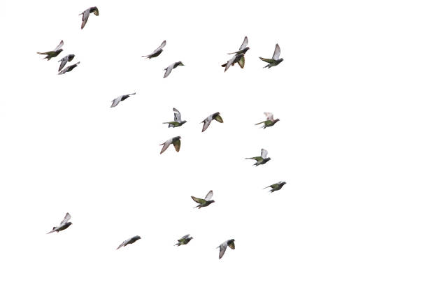 flock of speed racing pigeon flying isolated white background flock of speed racing pigeon flying isolated white background flock of birds stock pictures, royalty-free photos & images