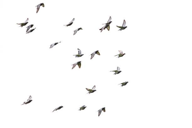 bandada de velocidad racing pigeon volando fondo blanco aislado - pájaro fotografías e imágenes de stock