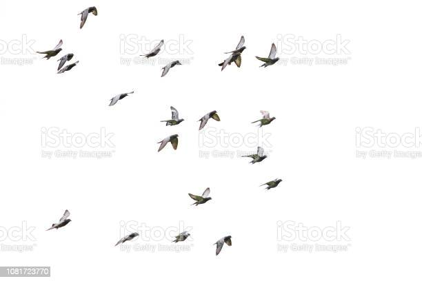 Photo of flock of speed racing pigeon flying isolated white background