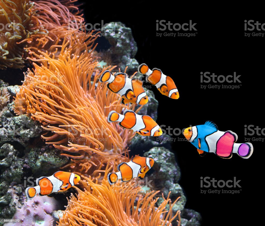 Flock of standard clownfish and one colorful fish stock photo