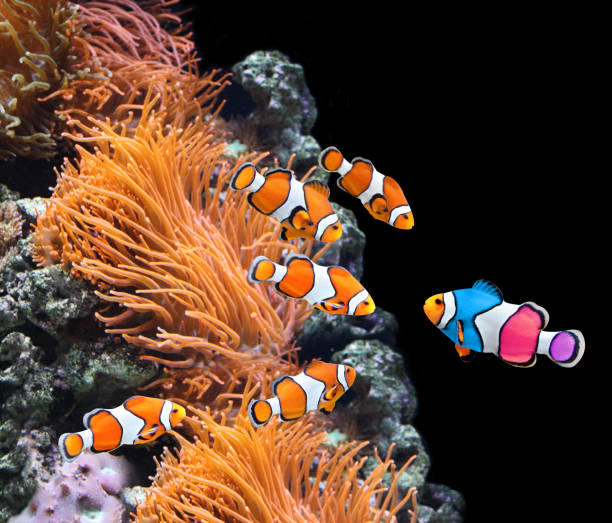 flock of standard clownfish and one colorful fish - one animal stock photos and pictures