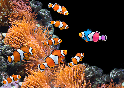 Concept - to be yourself, to be unique. A flock of standard clownfish and one colorful fish. On black background