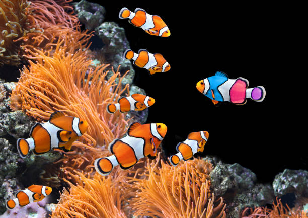 flock of standard clownfish and one colorful fish - contrasti foto e immagini stock
