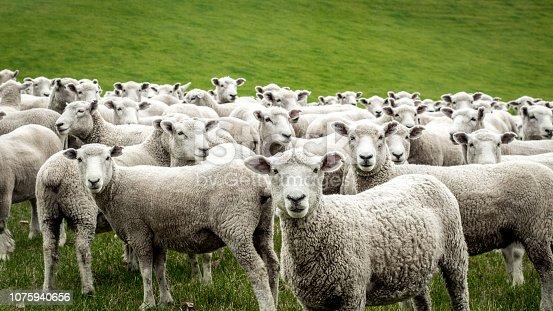 istock Flock of Staring Sheep 1075940656