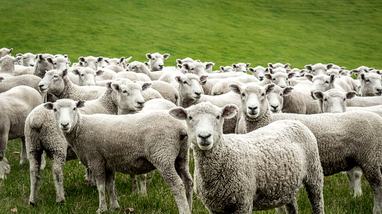 At the entrance of a movie set tourist attraction in Rotorua, New Zealand, this flock of sheep was curiously looking at anybody passing by. At save distance they starred right into the camera, before a car scared them away.