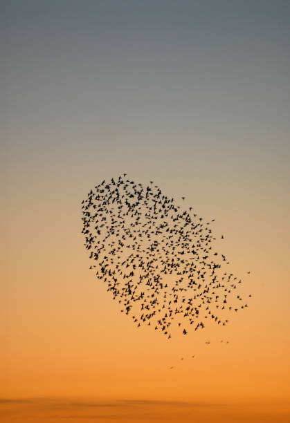 Flock of starlings. stock photo