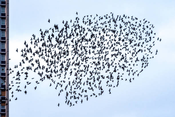 Royalty Free Starling Flock Pictures Images And Stock Photos Istock