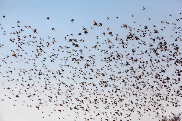 A flock of starlings stock photo