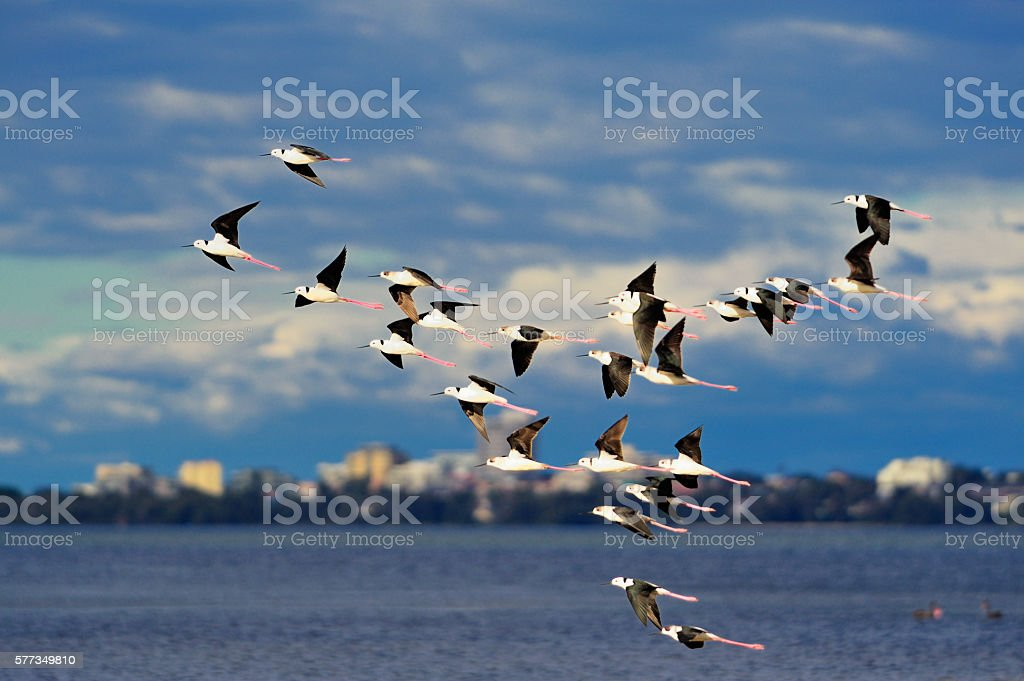 Flock of Stlit birds stock photo