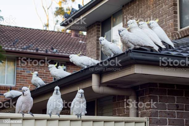Flock of sulphurcrested cockatoos sittting on a roof australian picture id1205869368?b=1&k=6&m=1205869368&s=612x612&h=5yp2zbjkim2jfygp29pexgck9p jo5cbgahgeyoqoia=