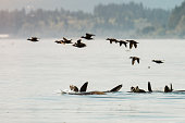 istock A flock of surf scoters fly over a raft of sea lions in Puget Sound 1279847952