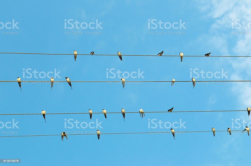 flock of swallows on blue sky stock photo