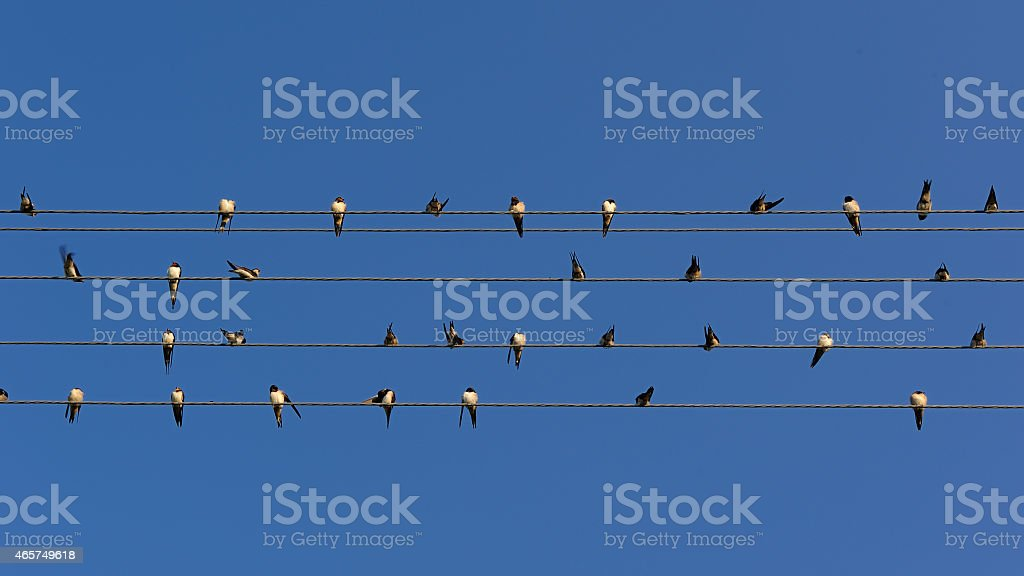 Flock of Swallows on Power Lines (16:9 Aspect Ratio) stock photo
