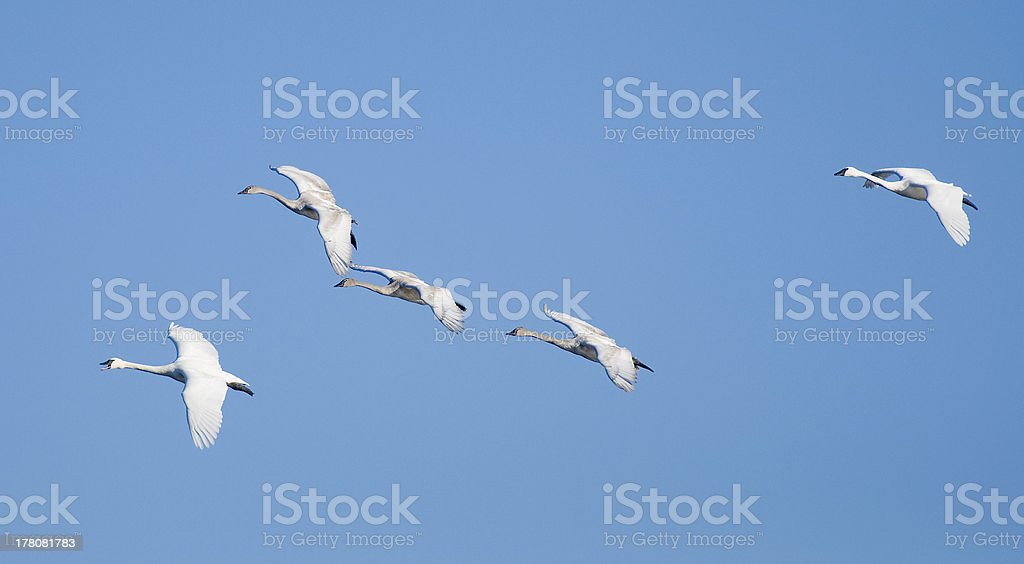 Flock of Swans stock photo