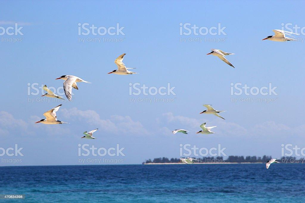 Stormo Di Volo Di Rondini Di Mare Sul Mare Fotografie Stock E