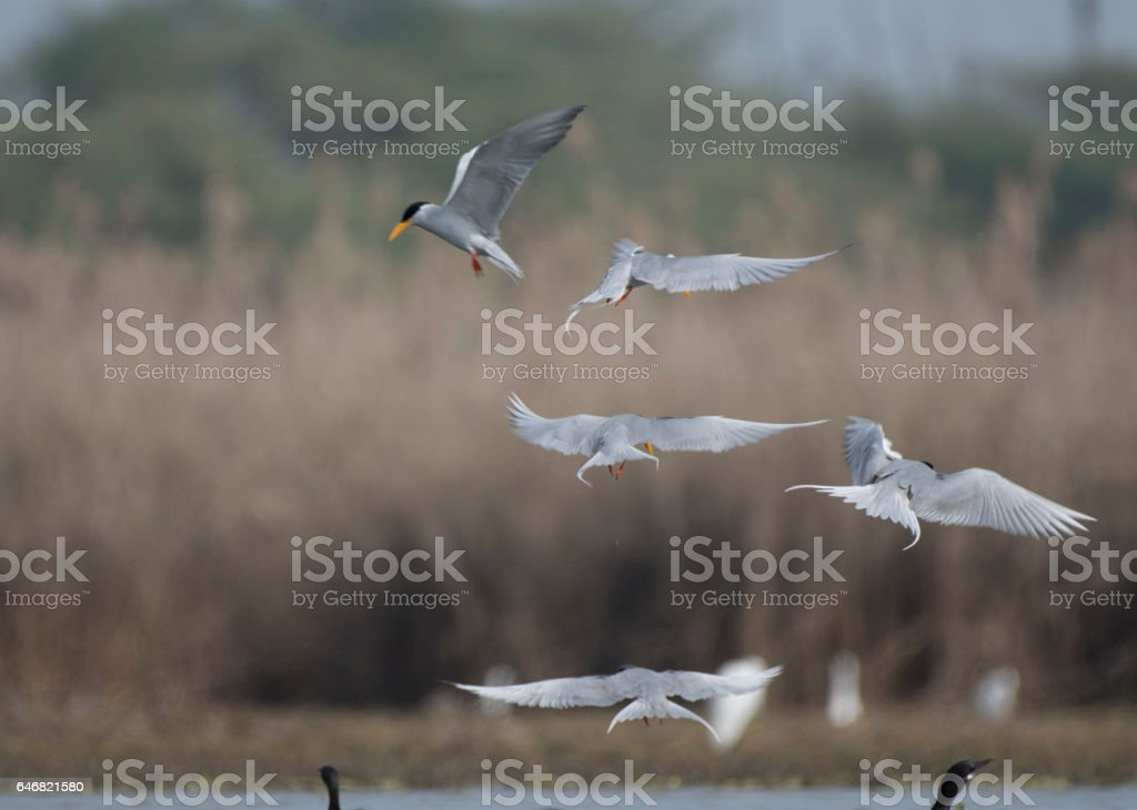 Flock of terns stock photo