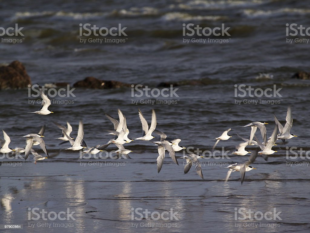 Flock of terns royalty-free stock photo