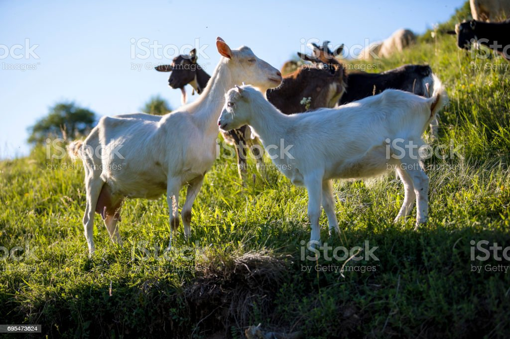 Flock of the goats stock photo