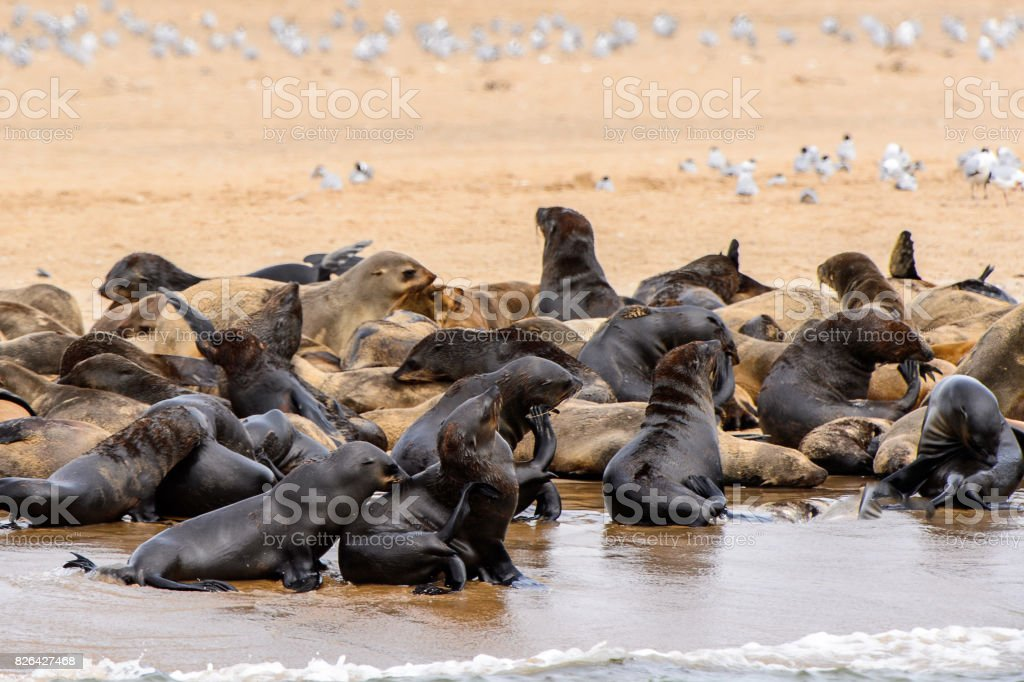 Flock of the Sea lions on the coast of the Atlantic Ocean, Namibia stock photo