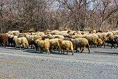 Flock of sheeps running on asphalt road