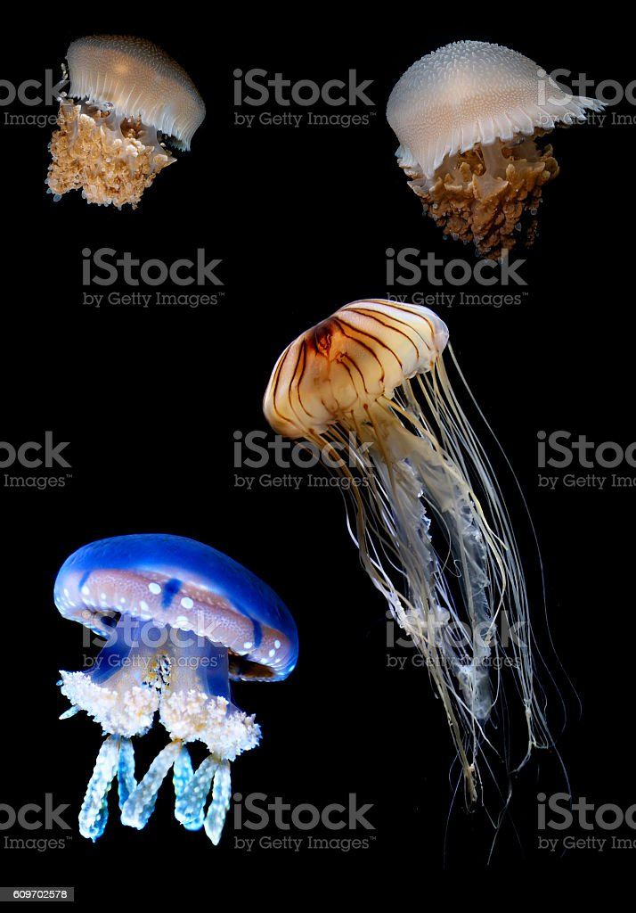 Flock of Tropic jellyfish swimming in the ocean vertical image stock photo