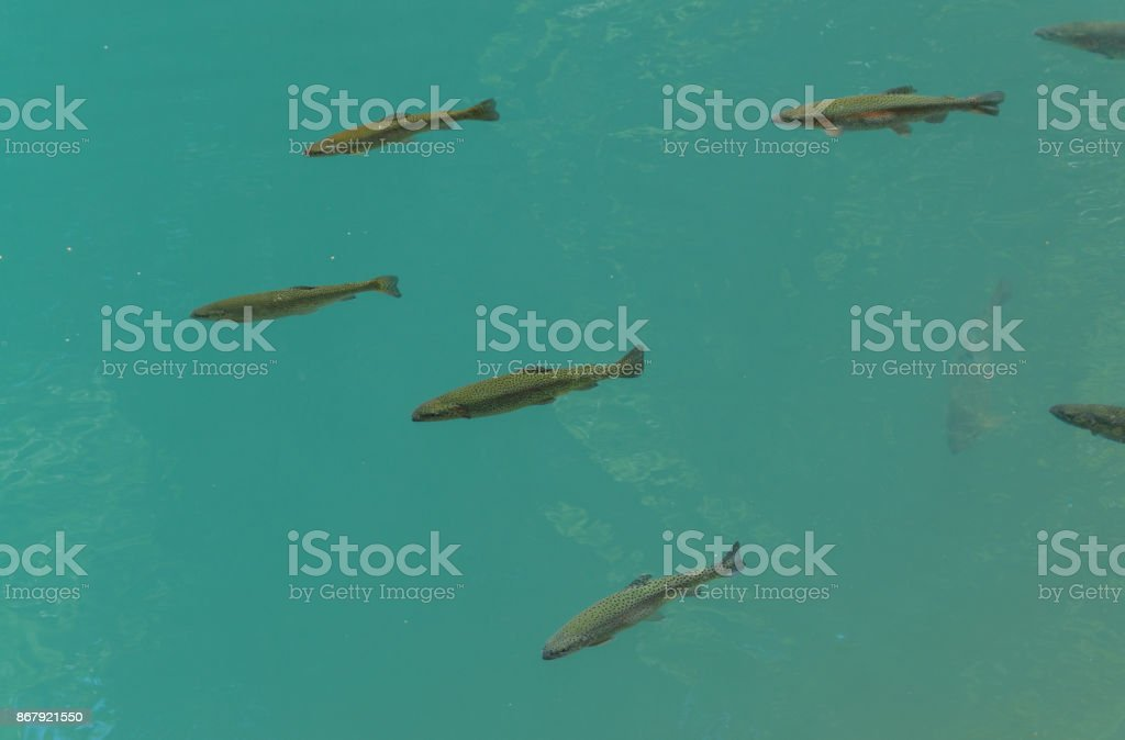 Flock of trout in the clear river stock photo