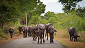 flock of water buffaloes are walking on an indian road somewhere in the south of india