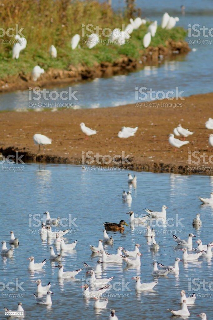 Flock of waterbirds in Black Hole Marsh stock photo