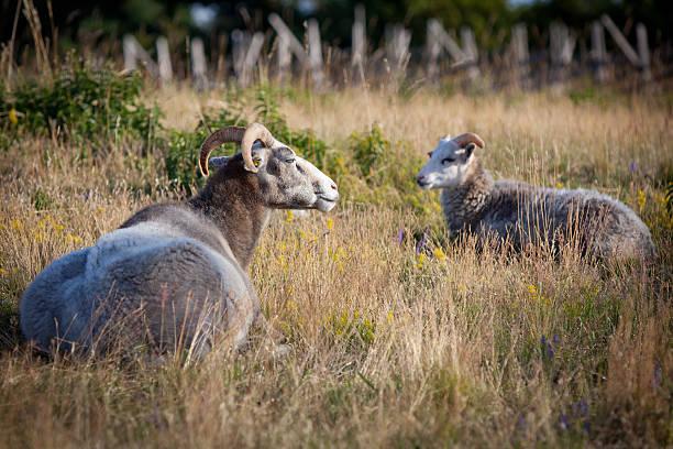 Flock of wheep. – Foto