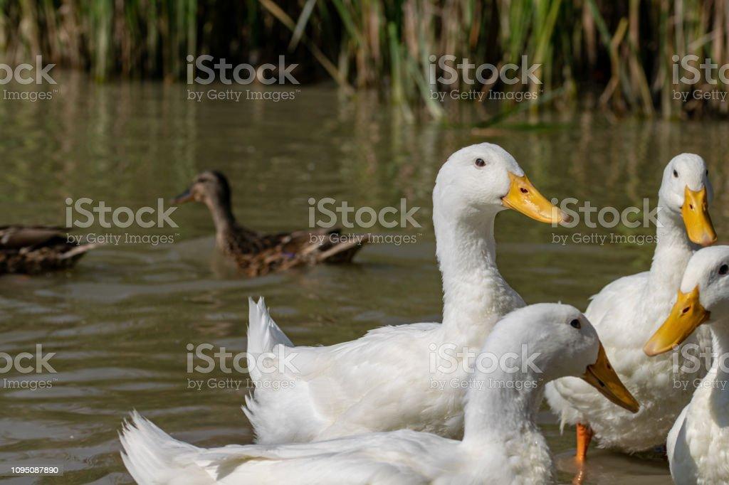 Flock of white ducks stock photo
