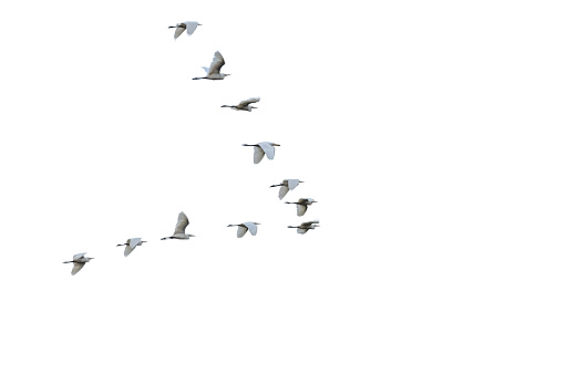Flock of white herons flying in V-formation.