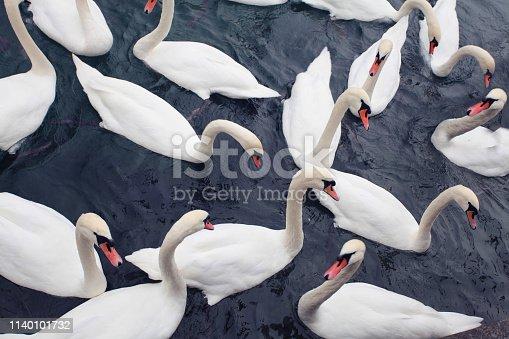 Flock of White Swans Floating on Dark Water,
