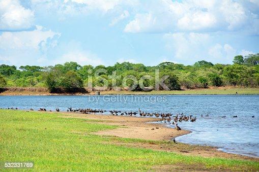 istock Flock of White-Faced Ducks next to Lifupa Dam 532331769