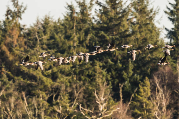 Flock of White-fronted Gänse, Anser albifrons, fliegend – Foto