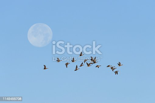 Flock of White-fronted Geese at Full Moon, Anser albifrons, Mecklenburg-Western Pomerania, Germany, Europe