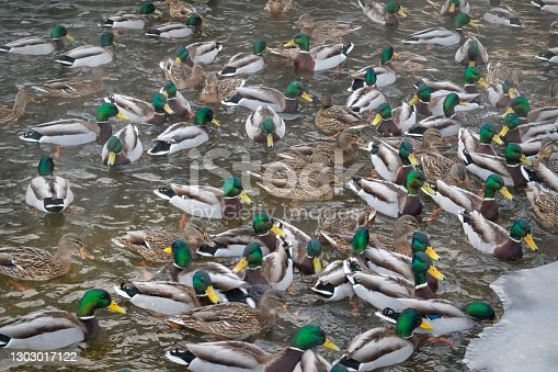 A flock of wild ducks on the lake. Many wild ducks swim in the winter lake. A flock of ducks in the water.
