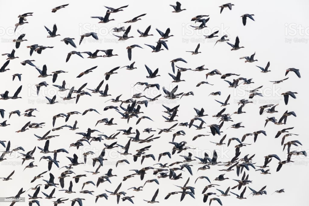 flock of wild geese flying isolated stock photo