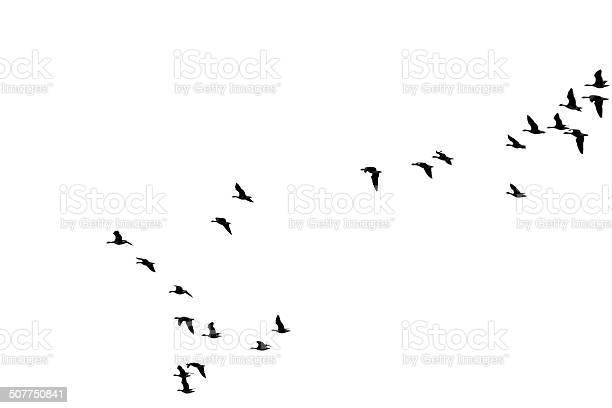 Flock of wild geese picture id507750841?b=1&k=6&m=507750841&s=612x612&h=384xvi7n6osp4v9et8p4dq3xzih8eszocdnbyg8lo6k=