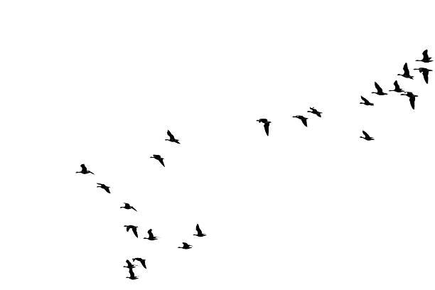 Flock of wild geese picture id507750841?b=1&k=6&m=507750841&s=612x612&w=0&h=cegczcwmkemr7243ra0bs0dppreikwbb0casy38 t0q=