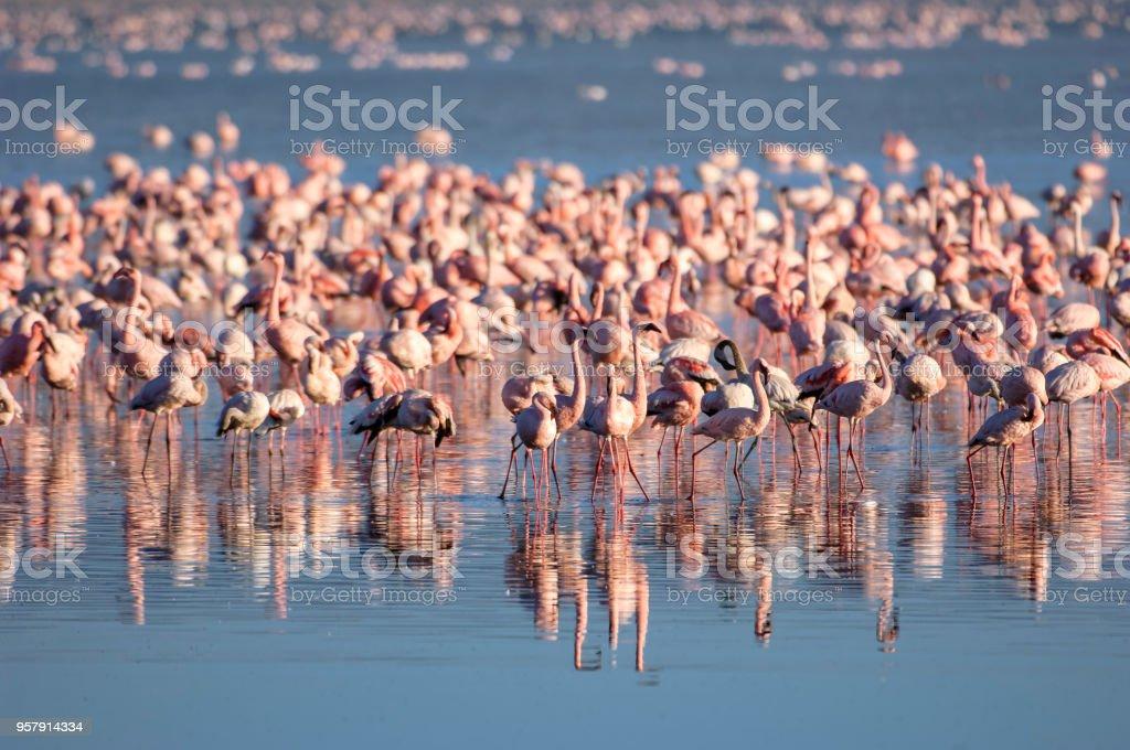 Flock of Wild Lesser Flamingos On Lake Nakuru stock photo